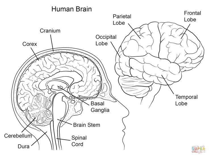 The 25+ best Human brain diagram ideas on Pinterest