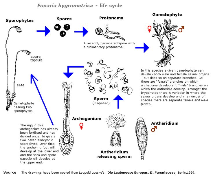 http://www.anbg.gov.au/bryophyte/illustrations/life-cycle