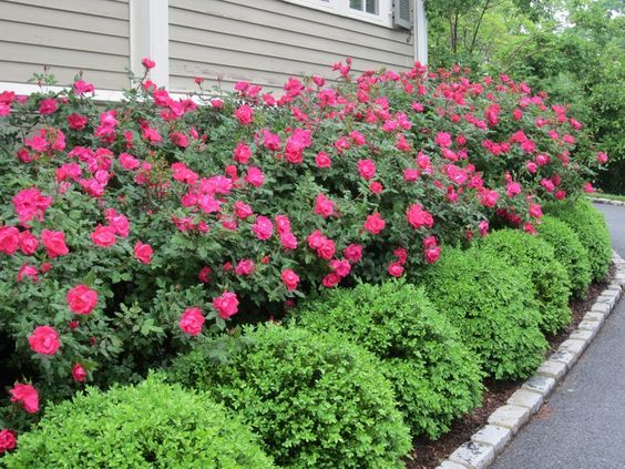25 Best Ideas About Hedges Landscaping On Pinterest Hedges