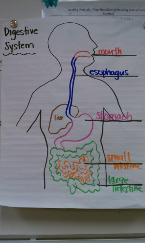 11 best images about 5th Grade  Human Body  Digestive System on Pinterest | Student, Paper and