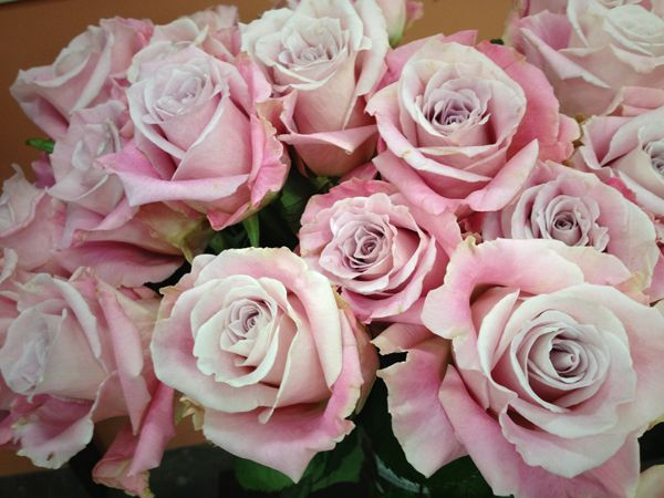 Faith Rose From South America Roses Pinterest South
