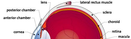 parts of the eyelid diagram dsl home run wiring best 25+ human eye ideas on pinterest