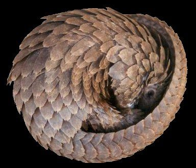A partially curled pangolin, which is a scaly anteater-like mammal. Its face and limbs are exposed, but will soon be hidden behind its tail.