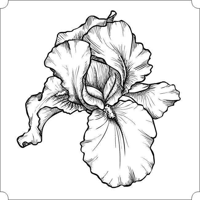 Ирис, черно-белый вариант. Векторная графика,нарисовано в
