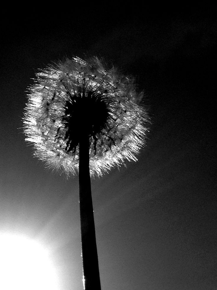 Dandelion black and white  Fun with photography  Pinterest  Sun Eyes and Black and white
