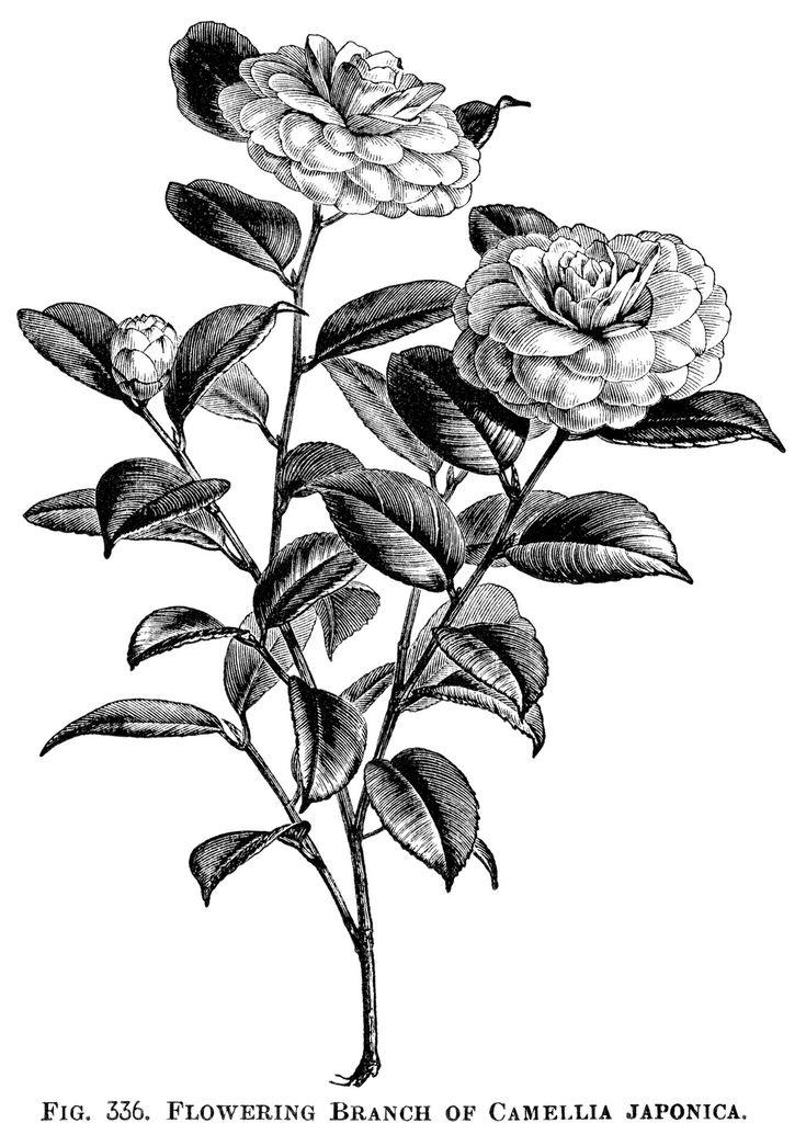 17 Best images about Botanical Black/White Illustrations