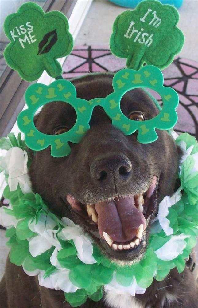 Cute Wallpaper St Pattys Day Pupppy 1000 Images About Saint Patrick S Day Pets On Pinterest