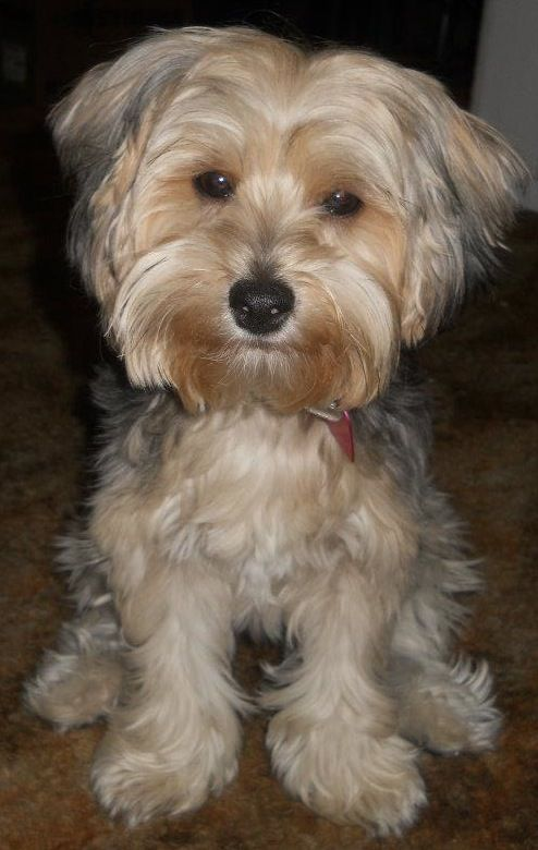 Full Grown Yorkie Poo My Own Decor Made By Brittni