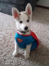 husky dog costume superman husky puppy dog wearing a ...
