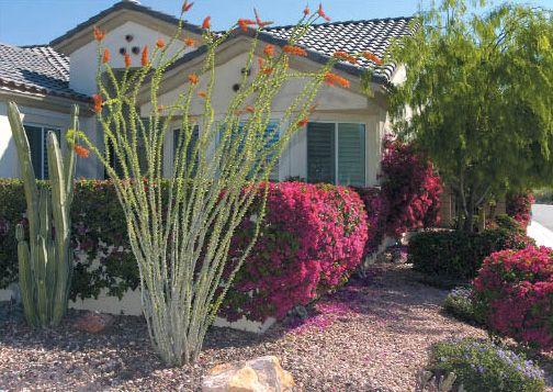 ocotillo favorite desert plant