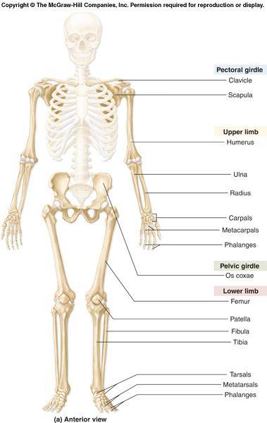 ear bone diagram labeled goodman heat pump condenser wiring appendicular skeleton labeling blank | nimin fetish factory cartown birthday promo code fancy ...