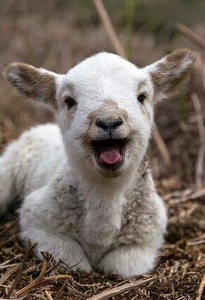 Cute Goat Wallpaper Happy Goat Goats And Happy On Pinterest