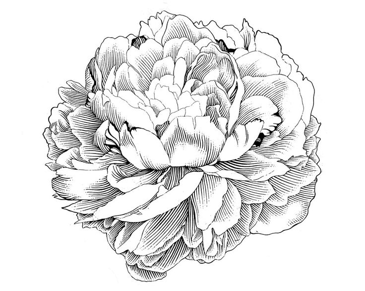Free peony clip art to use on invitations, stationery, etc