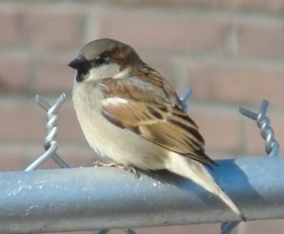 17 Best images about Sparrows on Pinterest  Passerine