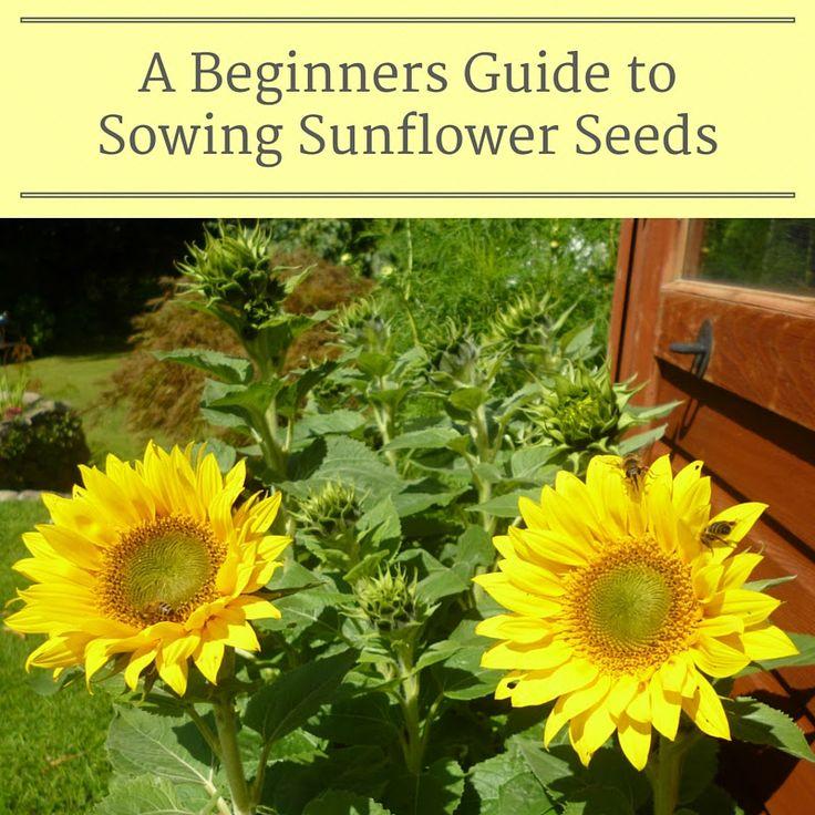 25 Best Ideas About Planting Sunflower Seeds On Pinterest