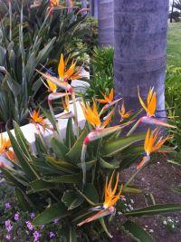 86 best images about Strelitzia plants on Pinterest