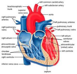 Human Heart Diagram | home blog heart diagram the human