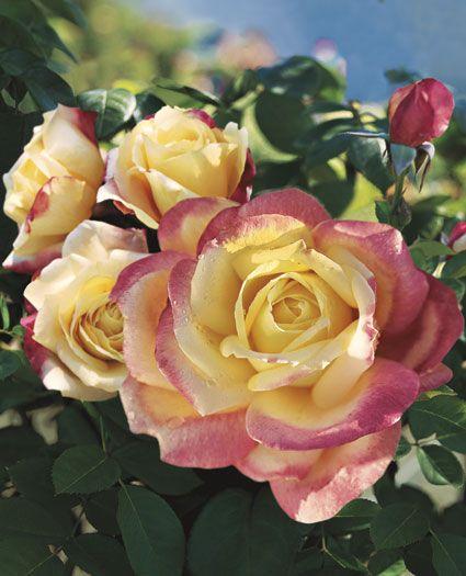 25 best ideas about Hybrid tea roses on Pinterest