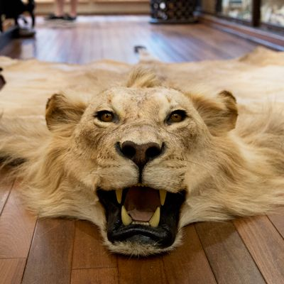 African Lion skin rug  This vintage mount is a huge male with a beautiful mane This is an