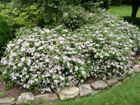 small evergreen bushes landscaping
