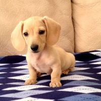 The 25+ best ideas about Teacup Dachshund on Pinterest ...