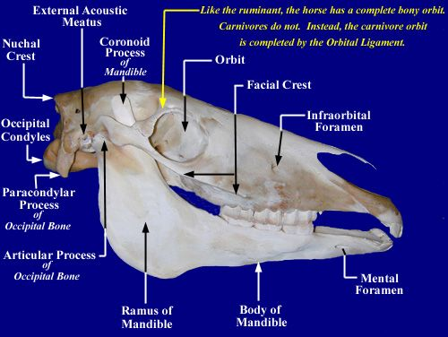 horse skull diagram wet switch wiring equine craniosacral; cranial bones | tom mayes; craniosacral therapy pinterest ...