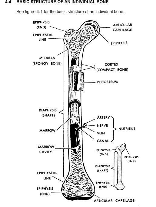 25+ Best Ideas about Human Anatomy Model on Pinterest