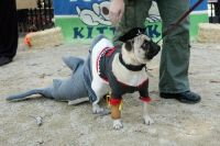 432 best images about Pugs in Costume on Pinterest