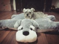 815 best images about Miniature Schnauzers on Pinterest ...