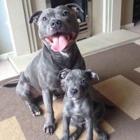 Best 25+ Blue staffy ideas on Pinterest