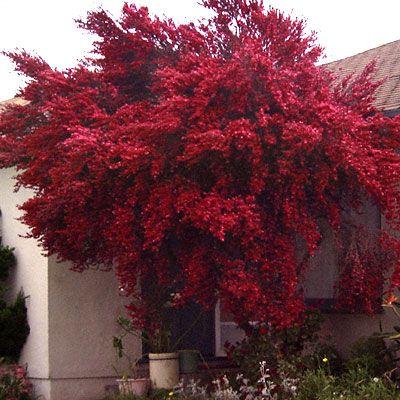 floral leptospermum scoparium ruby glow  LA Urban Garden  Pinterest  Gardens Glow and Garden