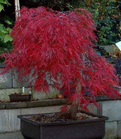 japanese maple; crimson queen