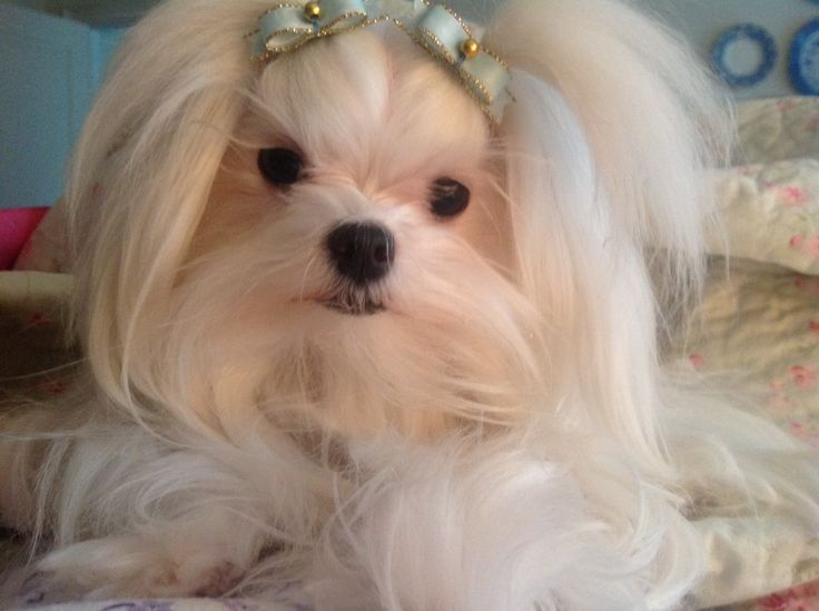 17 Best Images About Sweet Maltese On Pinterest Teacup
