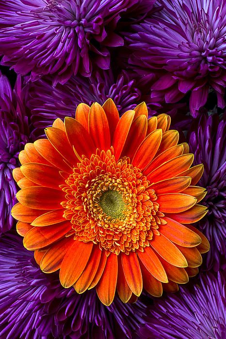 17 Best images about  My Orange  Purple Garden  on Pinterest  Gardens Fall flowers and Tulip