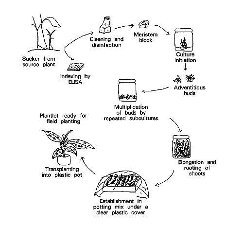 Plant Tissue Culture Techniques And Experiments