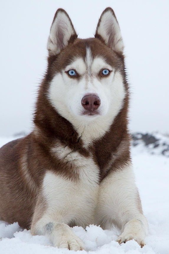 17 Best images about Huskies on Pinterest Red husky