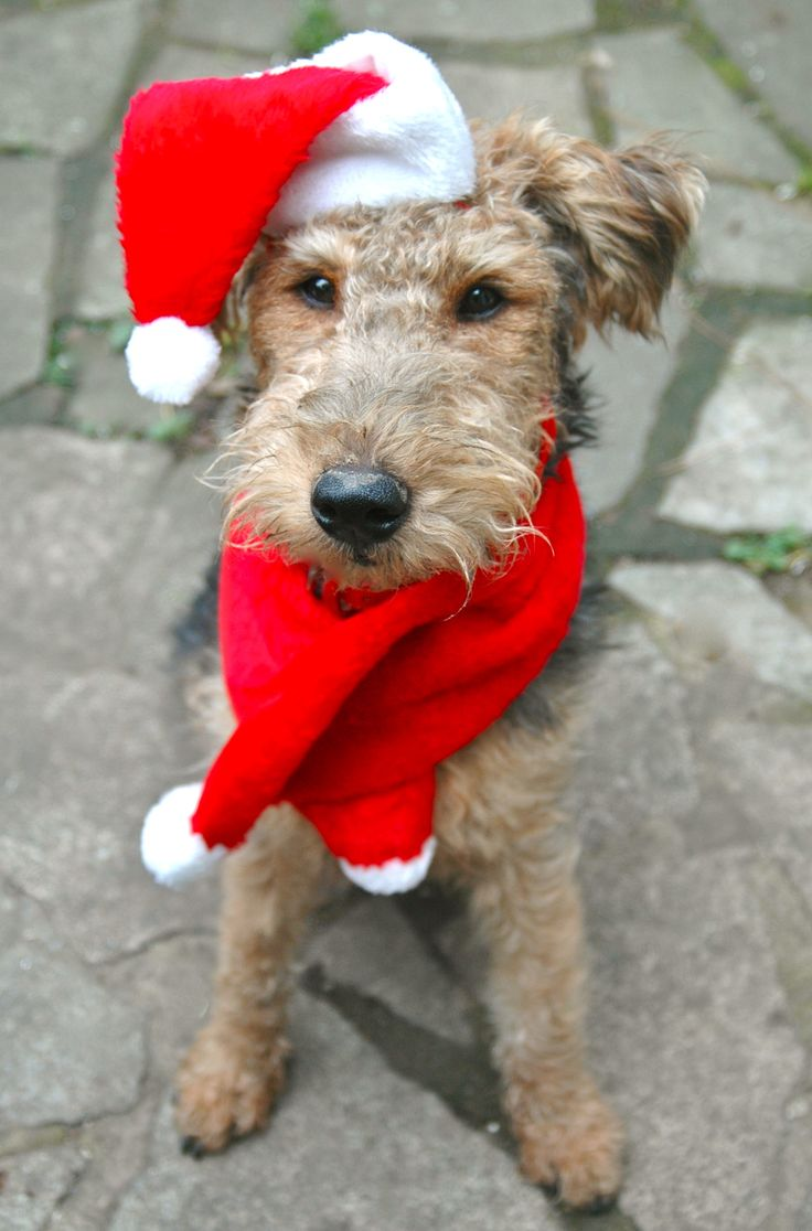 37 Best Images About Airedale And Welsh Terriers On