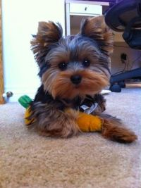 17 Best images about yorkies! on Pinterest | Pet ...