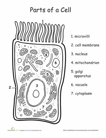 25+ best ideas about Human cell diagram on Pinterest