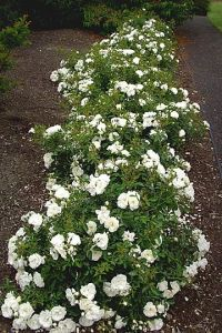 73 best images about Flower Carpet roses on Pinterest ...