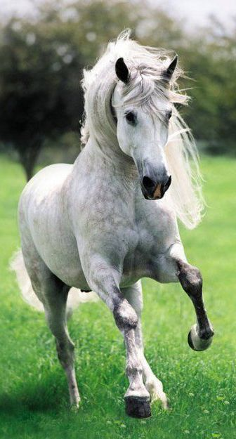 Horse Breeds - Andalusian Horse