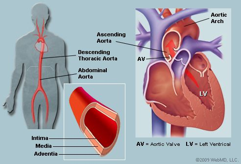 21 best images about aorta on Pinterest | Endocrine system ...