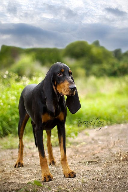 Black and Tan Coonhound by KerrieT via Flickr  Paws and whiskers  Pinterest  Beautiful