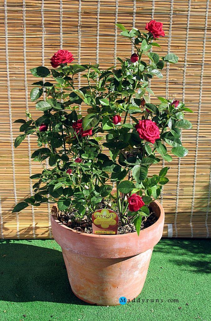 Gardening Rose Garden Tips And Ideas Gardening Landscape Plans