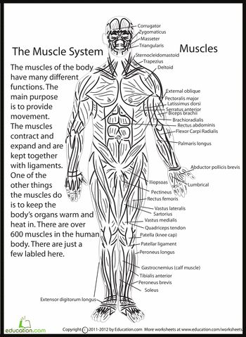 153 best images about Anatomy Physiology Muscular System
