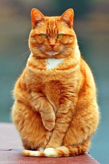 cat  Looks just like Tibbs Orange fat and no neck D