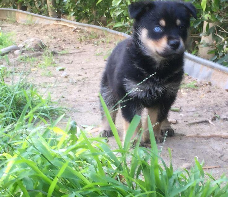 Cute Husky Puppies With Blue Eyes Wallpaper My New Rottweiler Husky Mix Rottsky Dogs Pinterest