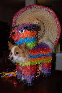 17 Best images about Cinco de Mayo Pets on Pinterest
