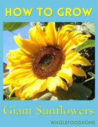 25+ Best Ideas about Growing Sunflowers on Pinterest ...