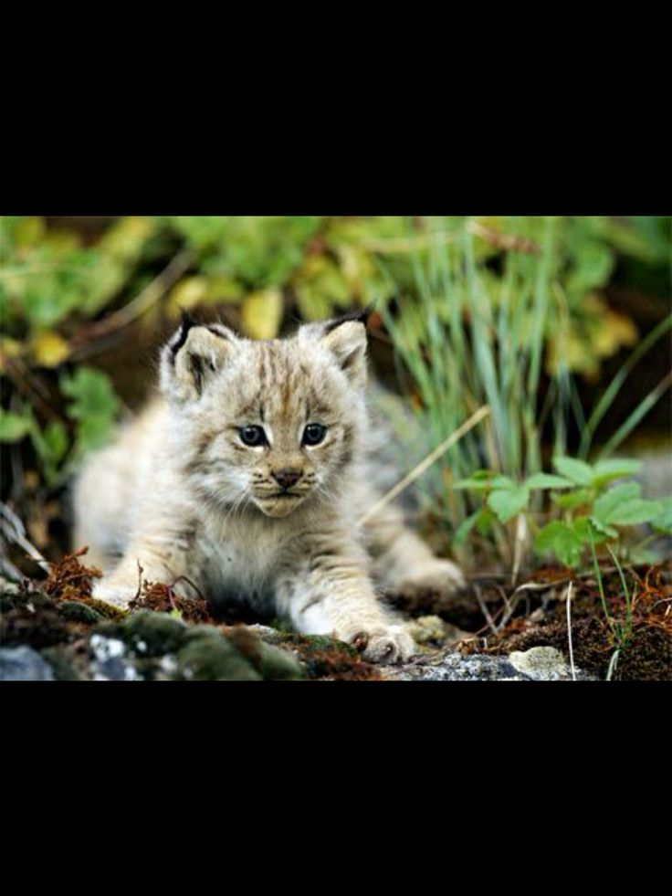 Beautiful Cute Babies Wallpapers Download Baby Ocelot Picture Rainforest Animals Images
